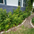 The finished wood slice path. The gardens on either side have grown in with raspberry bushes and strawberry plants,