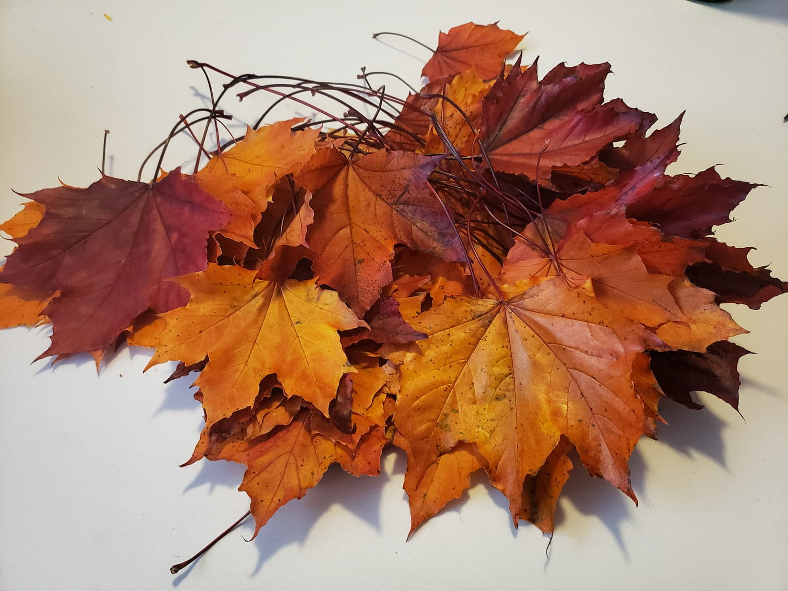A pile of colourful maple leaves