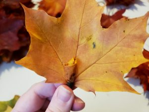 """A yellow maple leaf is held up behind the yellow """"rosebud"""" formed in the last few steps."""
