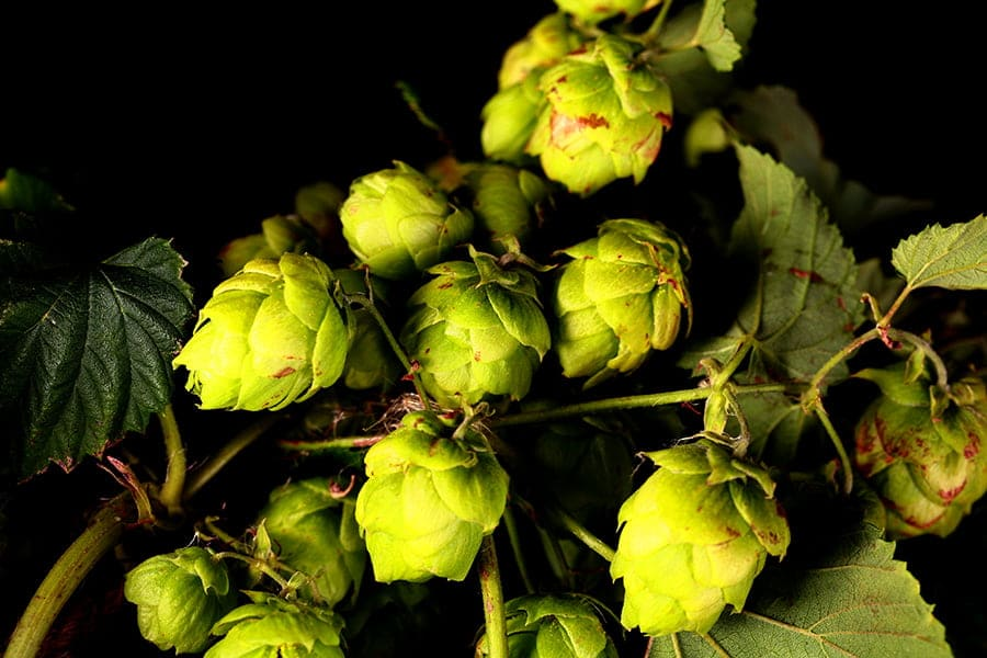 Close of image of a bine of hops, covered in hop leaves and flowers.