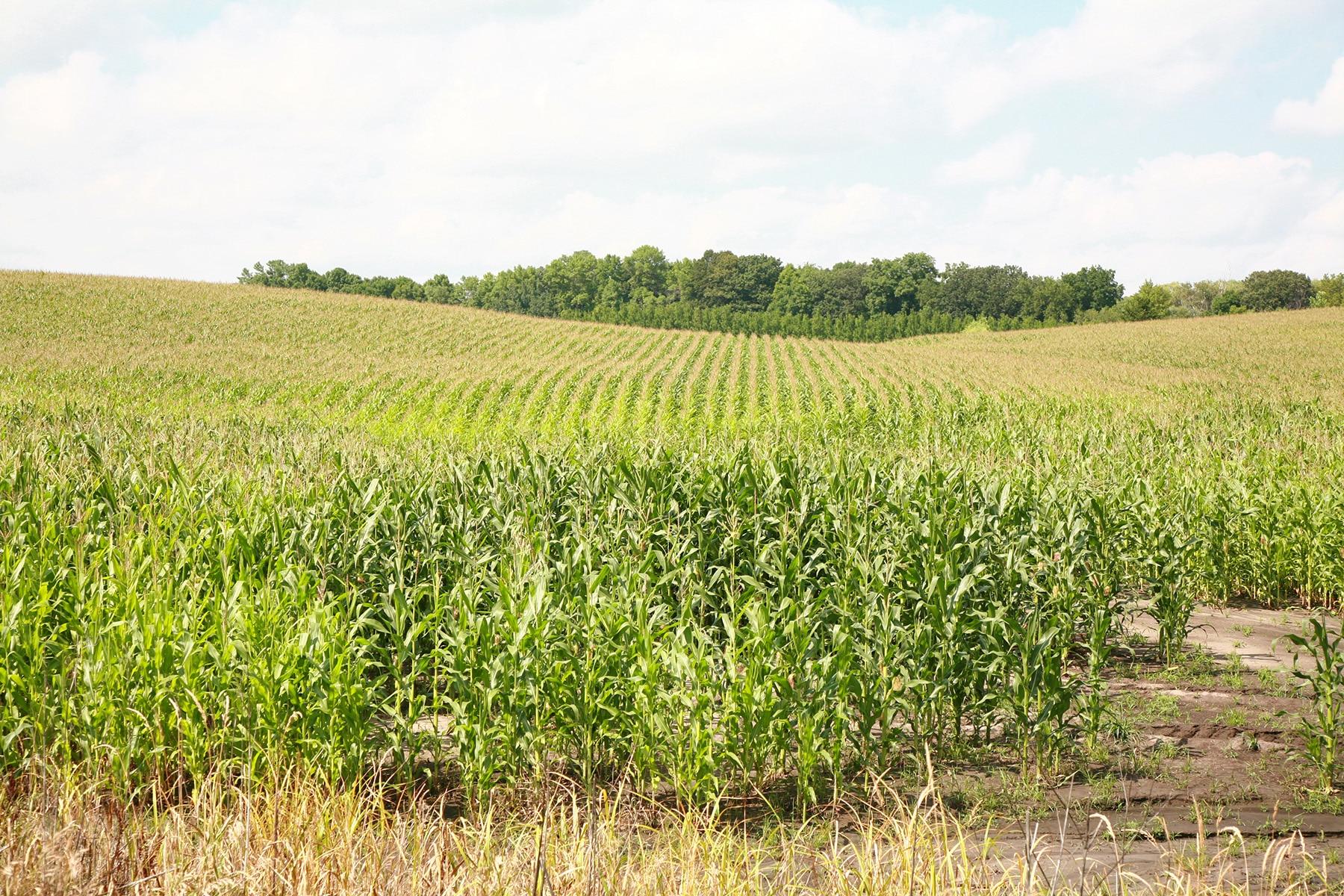 A field pf corn.